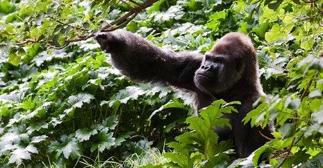 Gorillas.jpg.466x470_q95