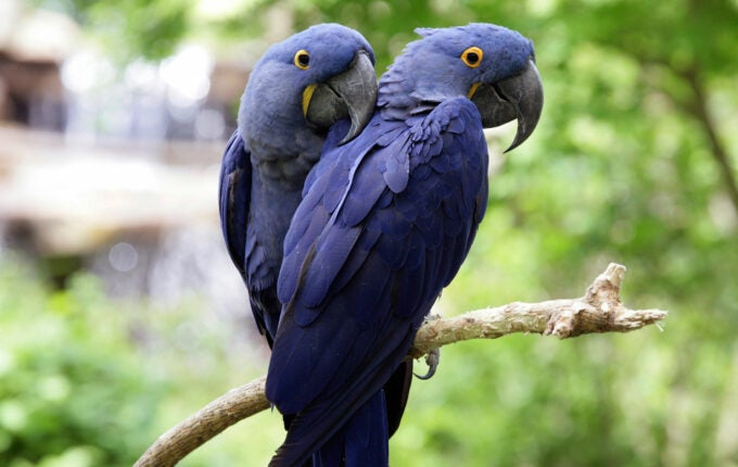 hyacinth_macaws