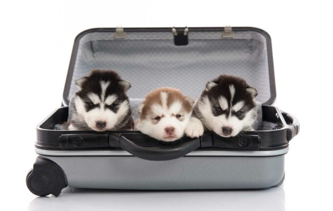 fly-with-pets-huskies