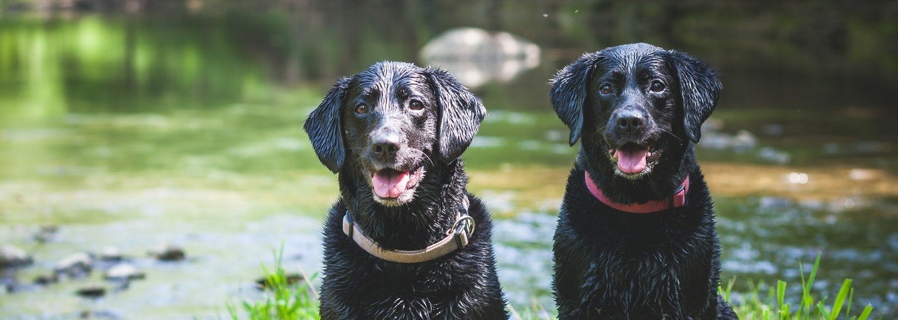 Two wet, black dogs are sitting by a creek.